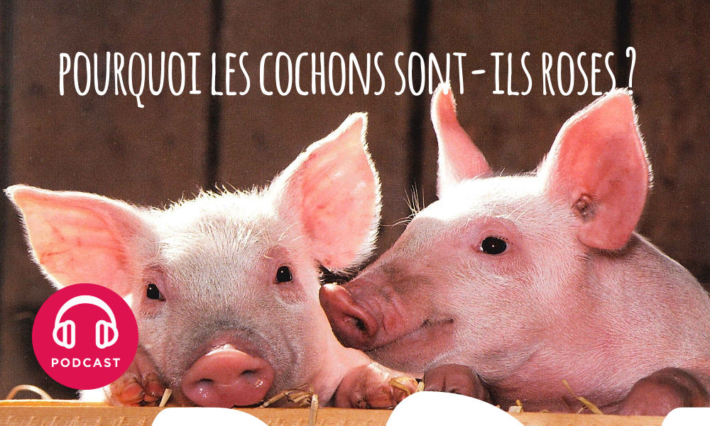 cochon rose